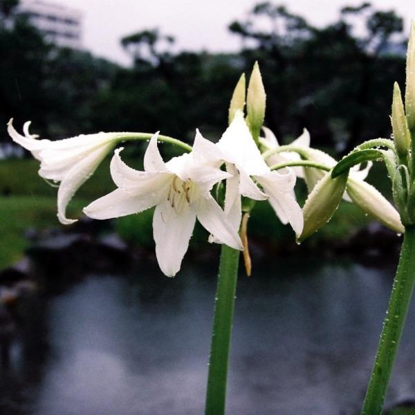 雨に濡れて-インドハマユウ