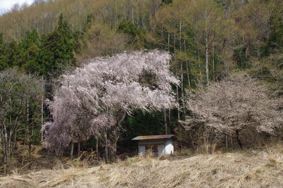 「上田市武石の桜」