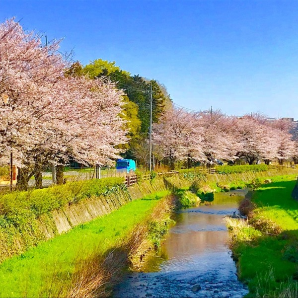 黒目川沿いの桜