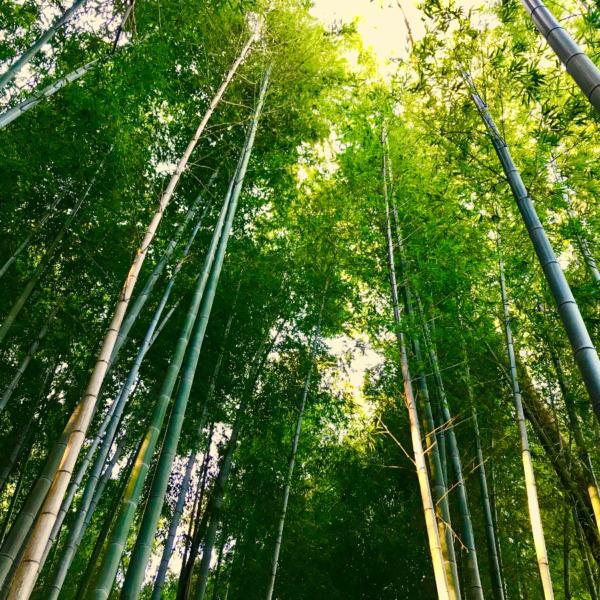 竹林に射し込む朝の光