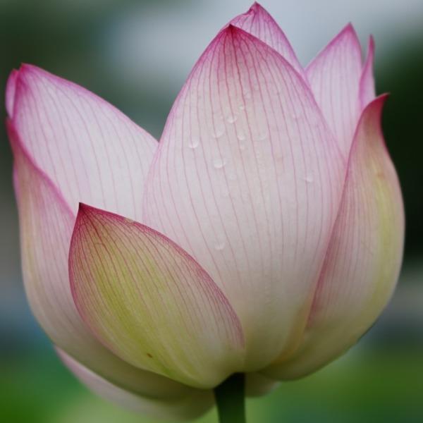 ピンクの誘惑/古代蓮の里(回顧編):負けないで✨