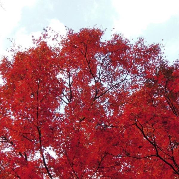秋に燃える