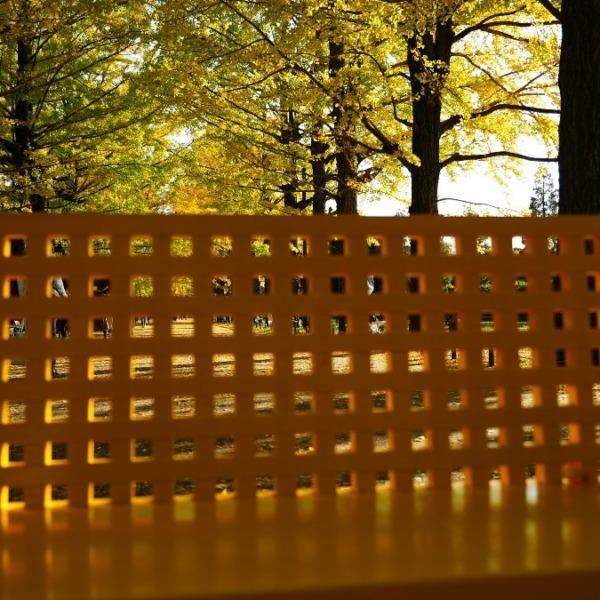 かたらいのイチョウ並木✨黄色の絨毯