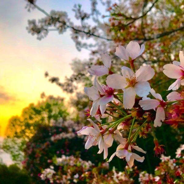 明け方の桜