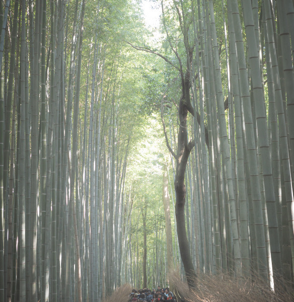 竹林、光がぬけて