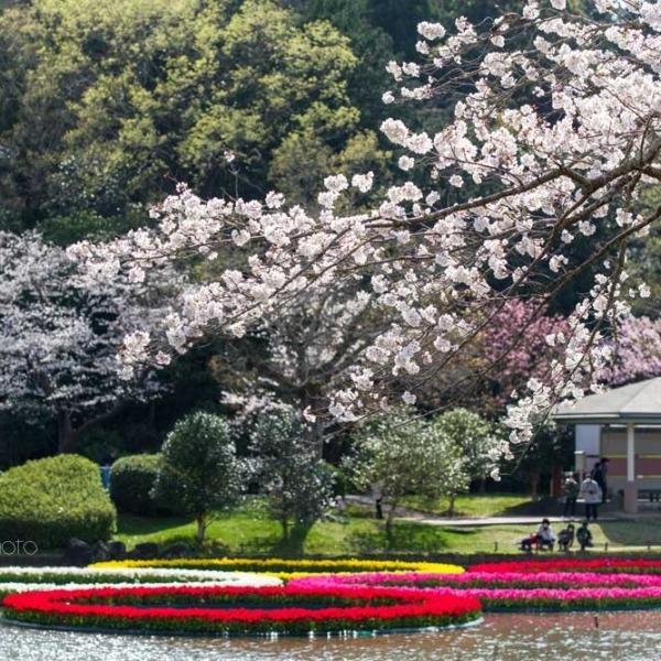 浜松フラワーパークの桜 28