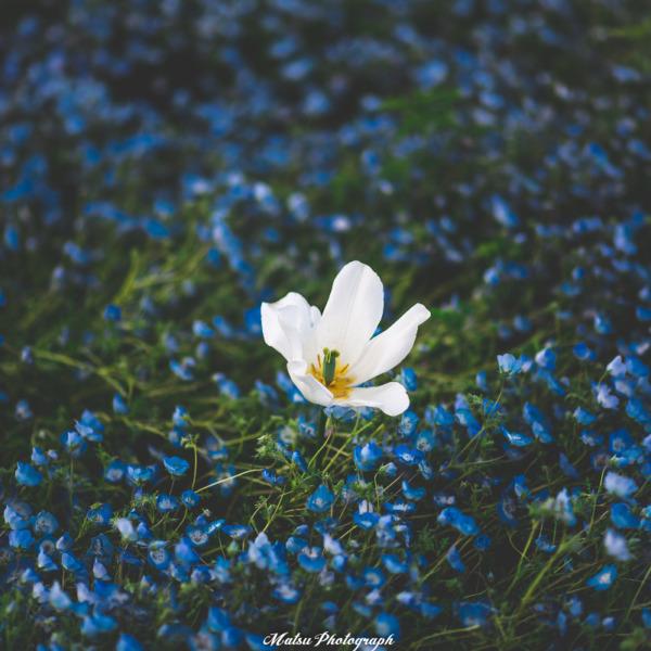 ネモフィラ畑に咲く一輪の白ゆり