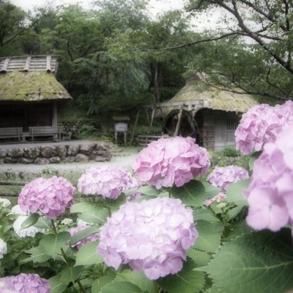 ー紫陽花と古民家ー