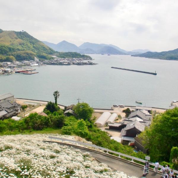 因島 重井の除虫菊3