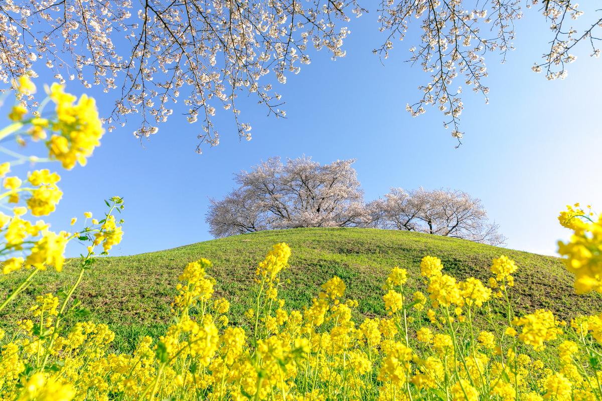 行田 さきたま古墳公園の桜