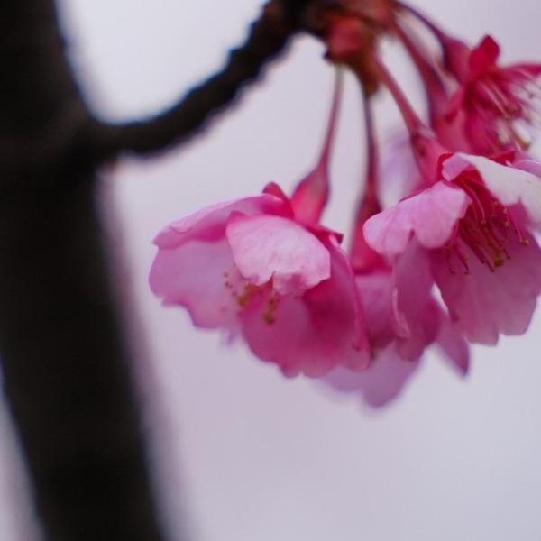 河津桜2021咲き始め💖/ピンクの舞