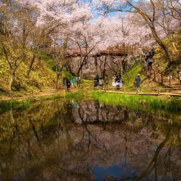高遠城址公園桜縦構図