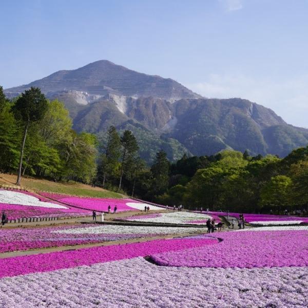 羊山公園の芝桜:モスピンクの絨毯✨