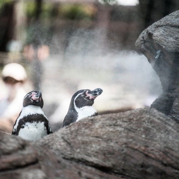 霧で涼むペンギン