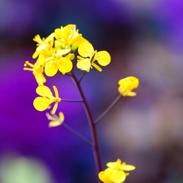 菜の花2021✨春よ来い/木場公園