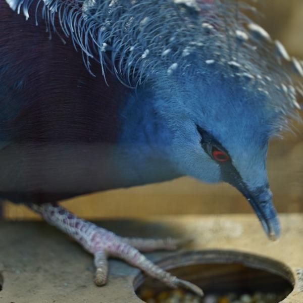 オウギバト/最も美しいハト:行船公園自然動物園🆒