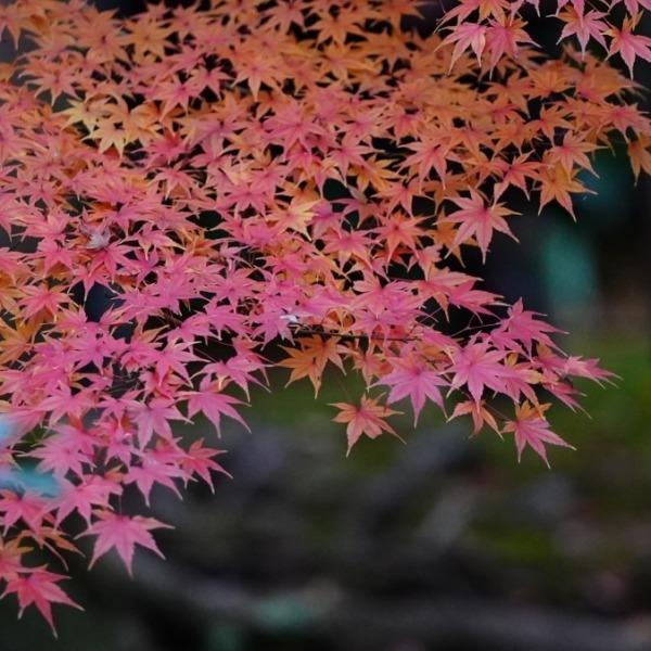 旧古川庭園の紅葉に萌え✨