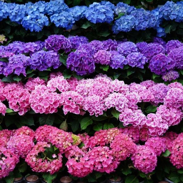 紫陽花2019彩/白山祭り