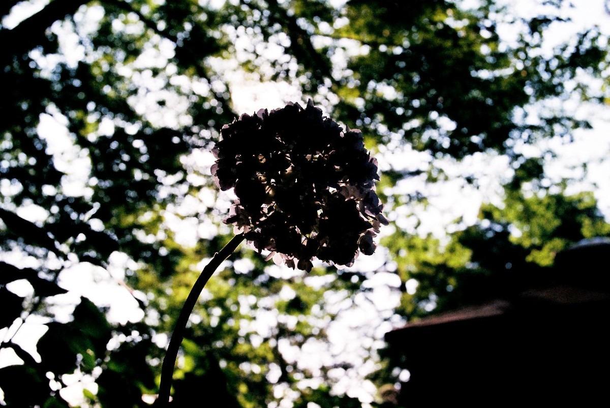 シルエット-紫陽花