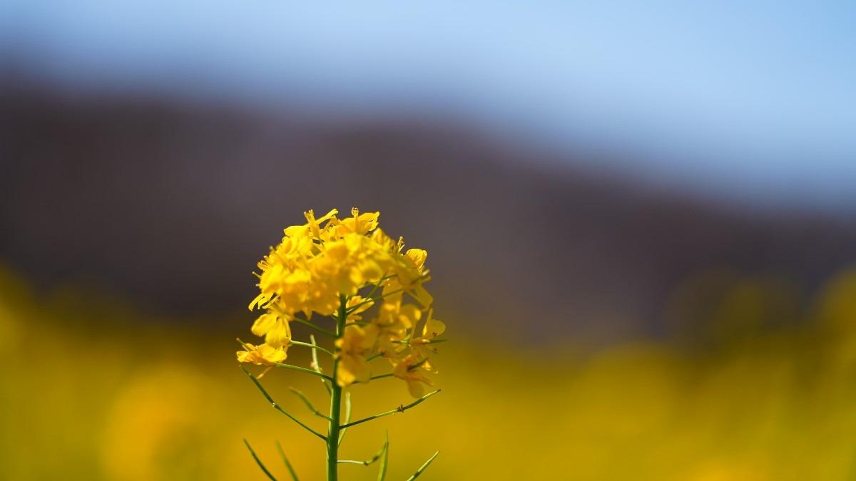 菜の花2021✨春の香り/権現堂公園