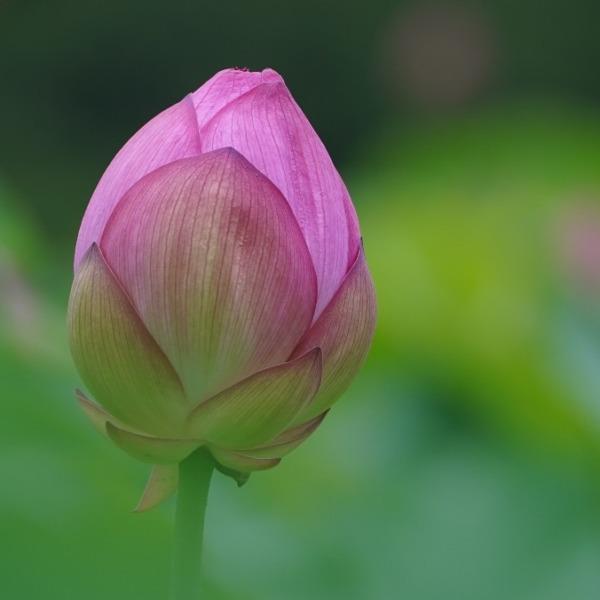 不忍池の蓮2020彩💖:ピンクと緑のハーモニー✨