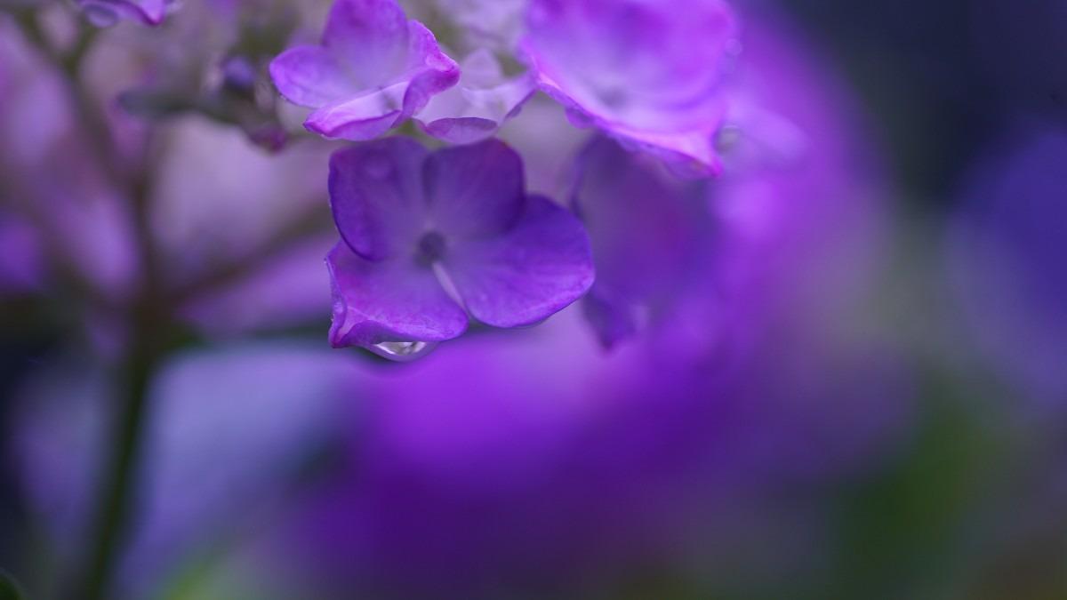 紫陽花2020彩💖:そんなに見つめないで✨