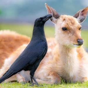 カラスと鹿