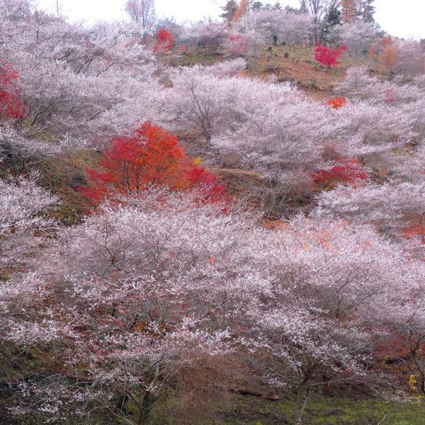 四季桜と紅葉の見事な共演美