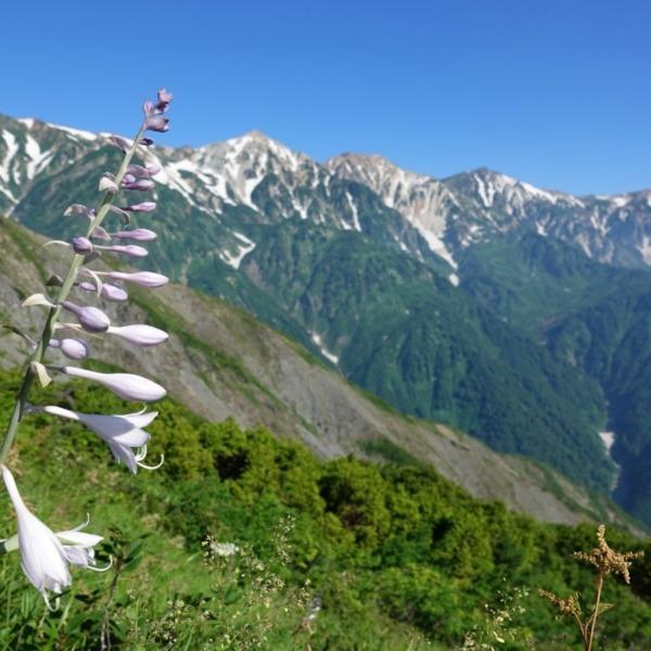 ミヤマギボウシと白馬三山