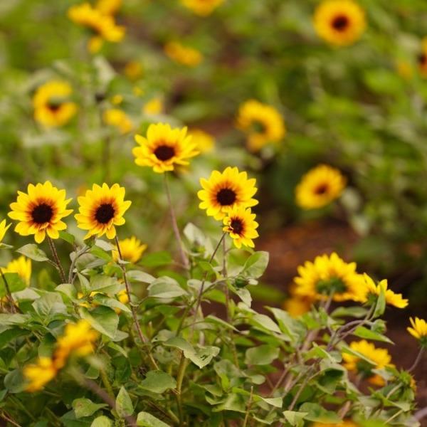 ひまわり2020🌻/葛西臨海公園:太陽を求めて💖