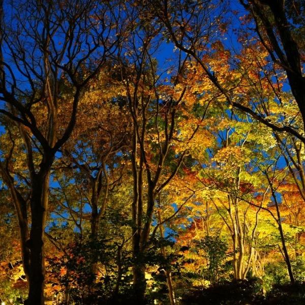 昭和記念公園:日本庭園/紅葉ライトアップ✨