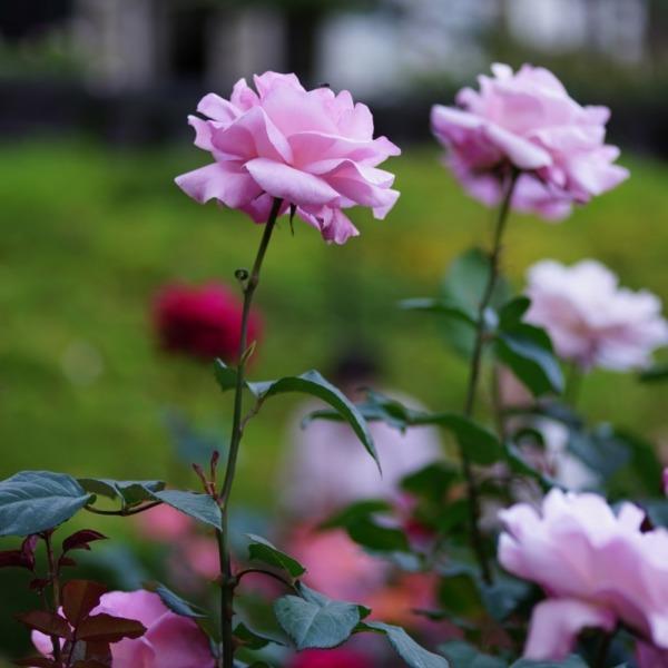 クイーン・エリザベス🌹:2019春バラ人気18位