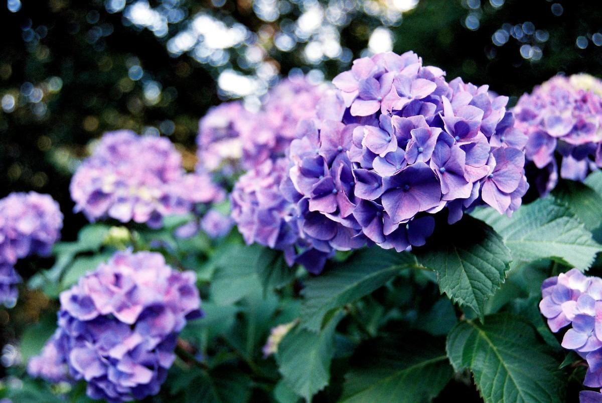 グラデーション-紫陽花