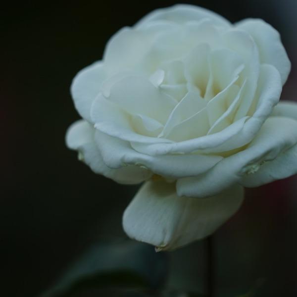 ユキさん🌹:旧古河庭園2019春バラ人気12位✨