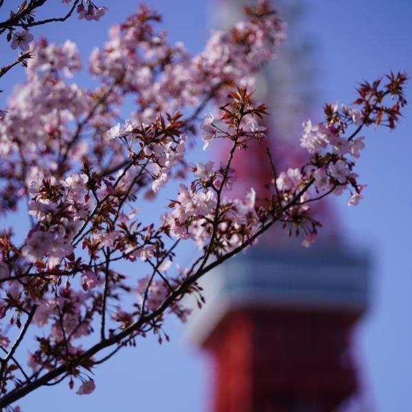 芝公園内の桜🌸:東京タワーコラボ✨満開なら絶景