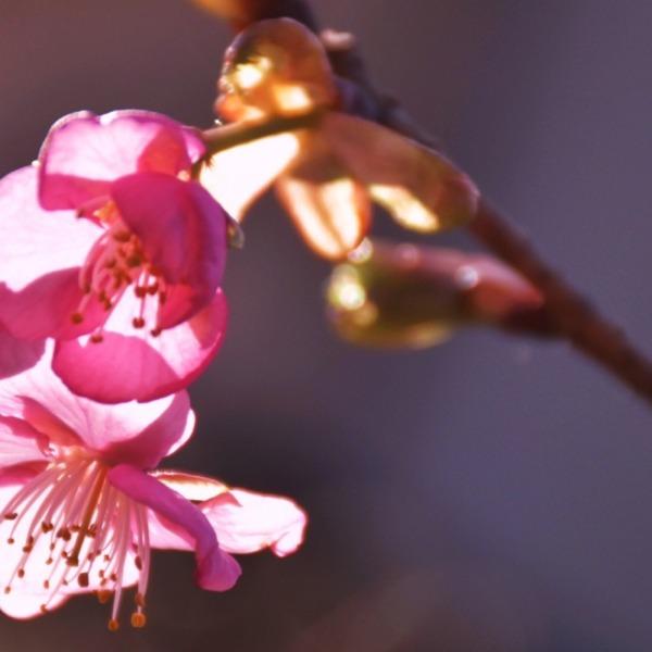 輝く桜一輪