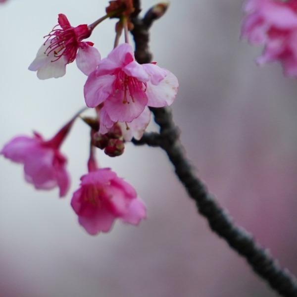 河津桜✨もっと元気に咲きたい💖