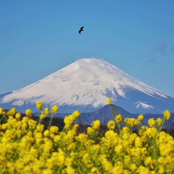 富士山と菜の花20210216