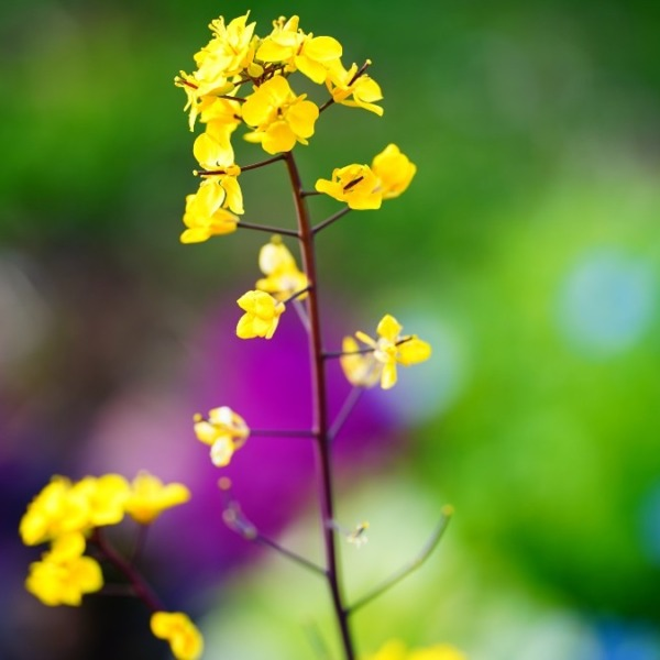 菜の花2021✨春の香り/木場公園
