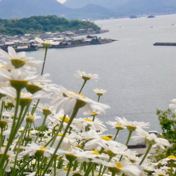 因島 重井の除虫菊4