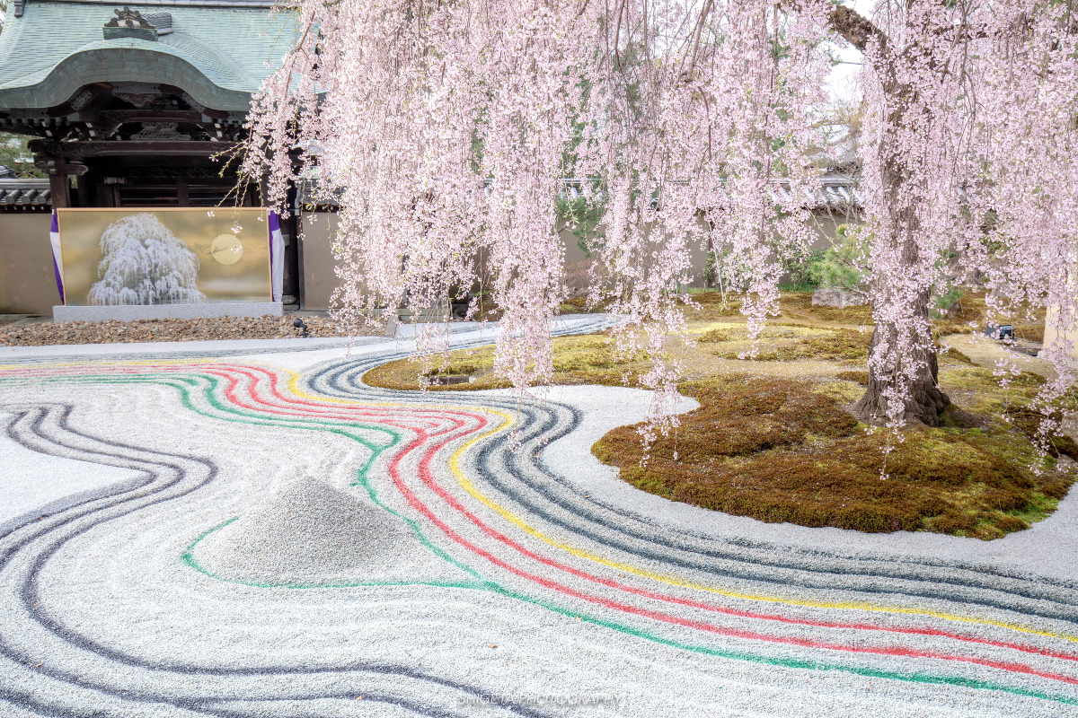 高台寺のしだれ桜
