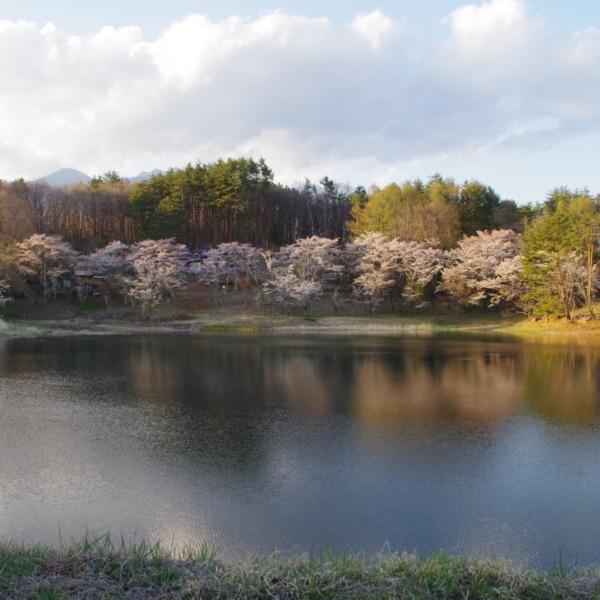 「溜池の桜リフレクション」