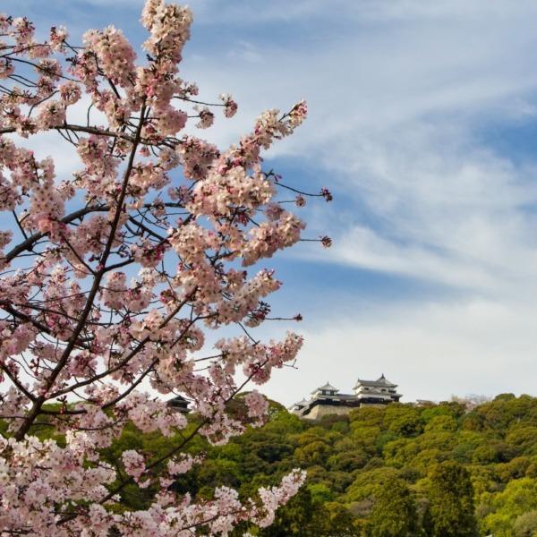 ―桜と松山城―