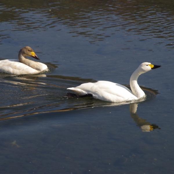「上川の白鳥」
