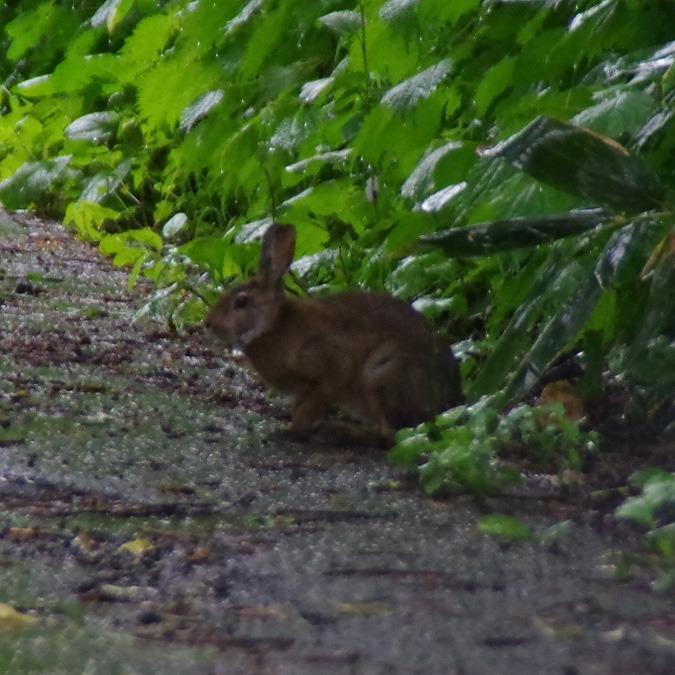 「ノウサギ」