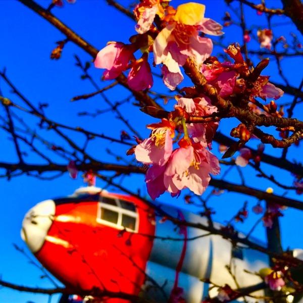 航空公園の河津桜