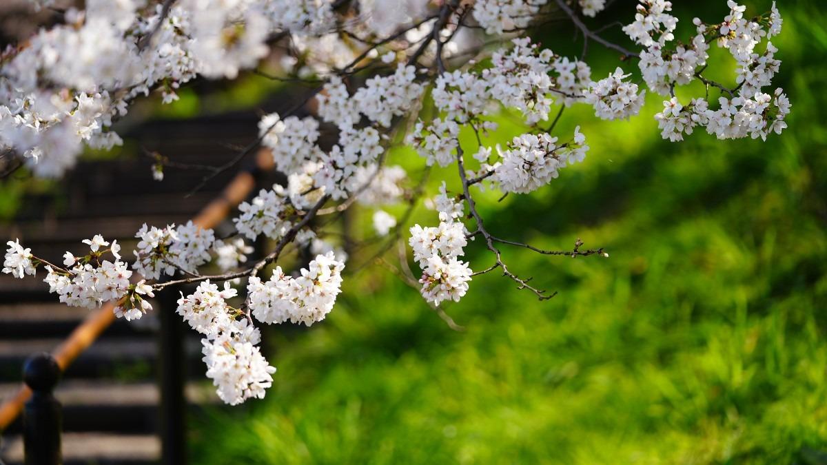 3/27さくらの日💖春到来2021/権現堂