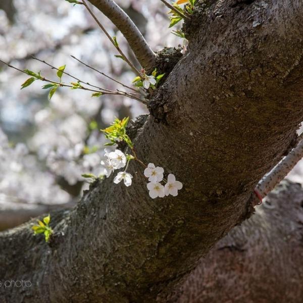 浜松フラワーパークの桜 25