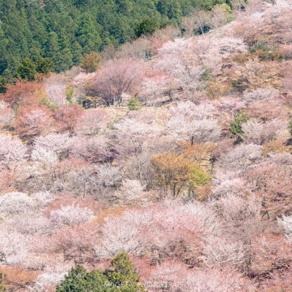 吉野山「千本桜」