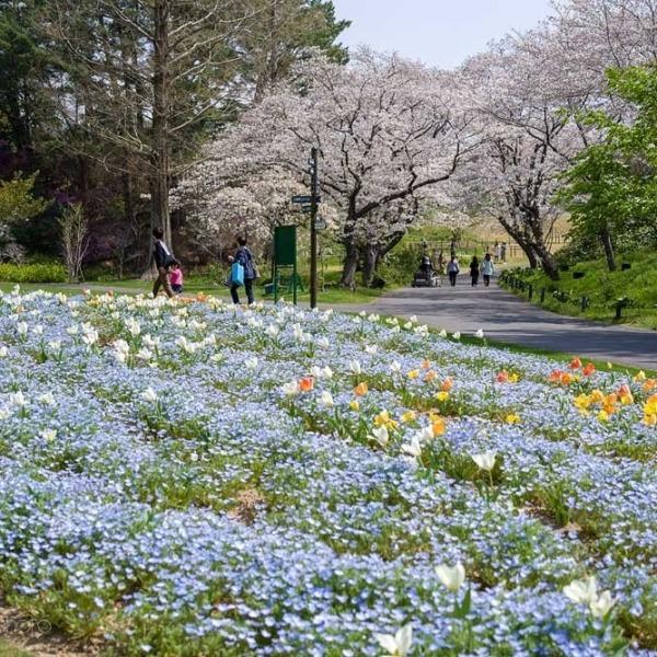 浜松フラワーパークの桜 12